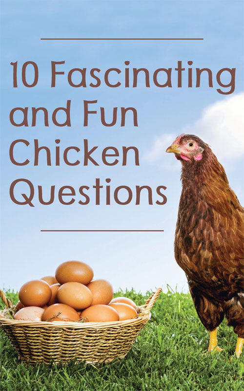 Chicken Questions