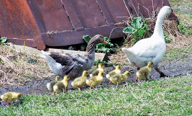 raising-geese-for-meat