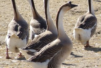 Raising Geese for Meat: A Home-Grown Holiday Goose