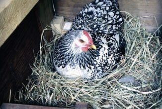 What's the Best Bedding for Chickens?