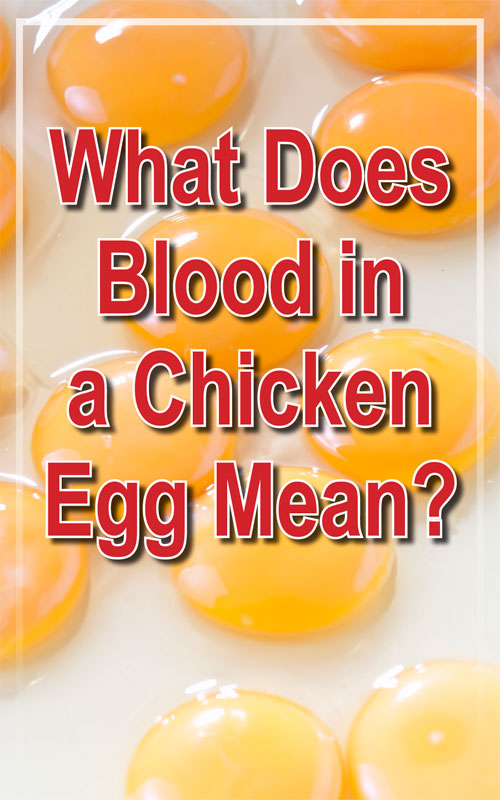 Blood in Chicken Eggs
