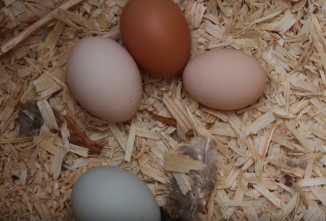 How Old Do Chickens Need to Be to Lay Eggs? (VIDEO)