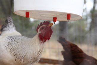 Heated Chicken Waterers: What's Right for Your Flock
