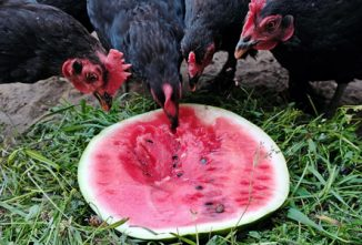Chickens Eating Fruit