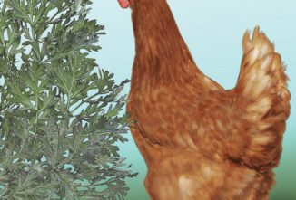 When, Why and How to Deworm Chickens