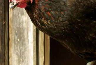 Chicken Diseases And Your Backyard Flock