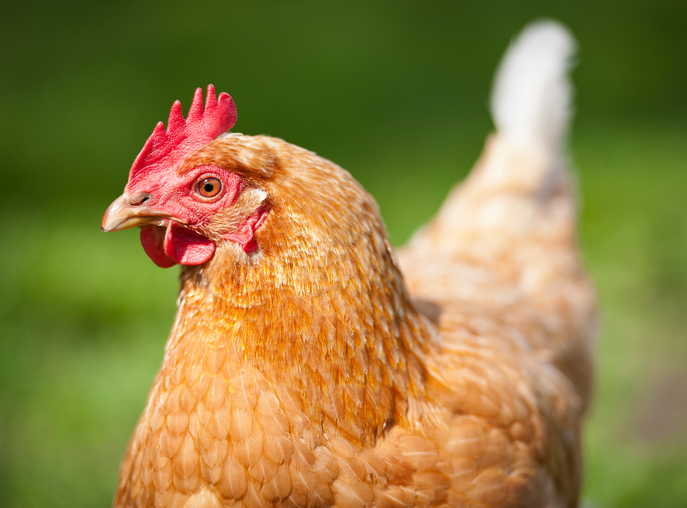 10 Hilarious Chicken Questions (Like Why Are Some Eggs Brown?)