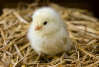 Baby Chick Health Basics: What You Need to Know