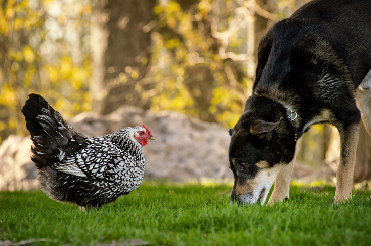 Do Dogs and Cats Kill Chickens? - Backyard Poultry