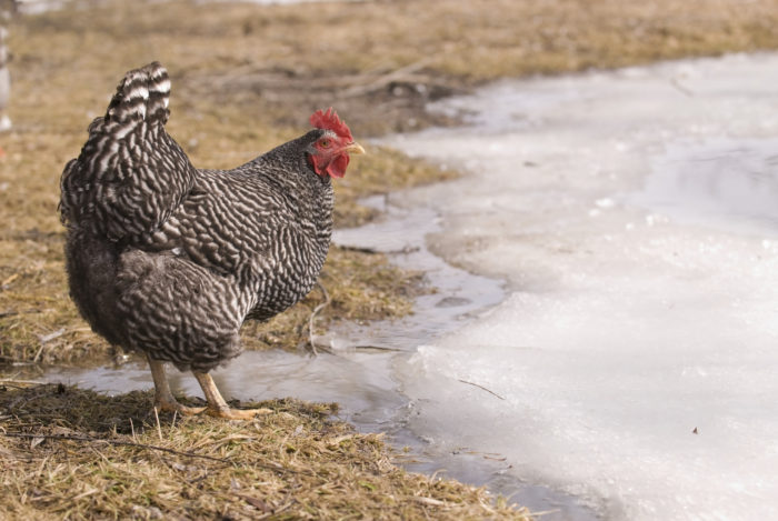 Chickens in a Minute: How Cold is Too Cold for Chickens in Winter?