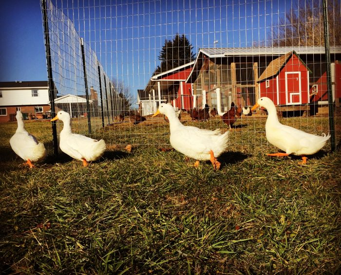 How to Keep Ducks and Chickens in the Same Coop