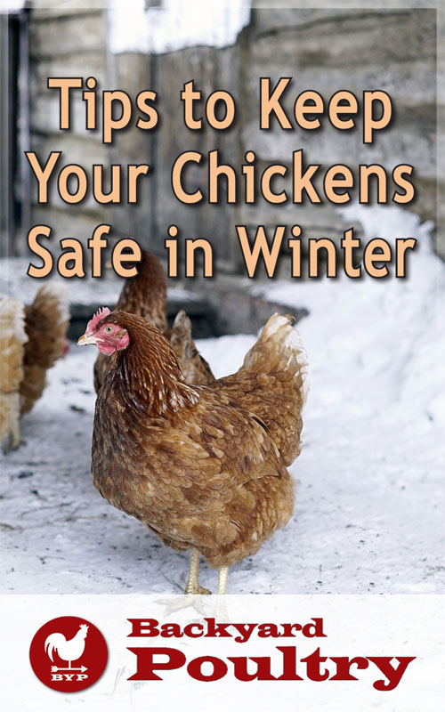 Keep Chickens Safe in Winter