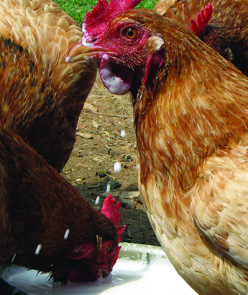Are Chickens Lactose Intolerant?