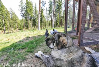 Buckeye Enthusiast Keeps Heritage Hens Safe With Livestock Guardian Dogs