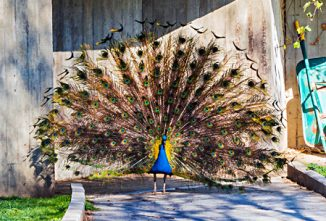 Ask the Expert: Peafowl