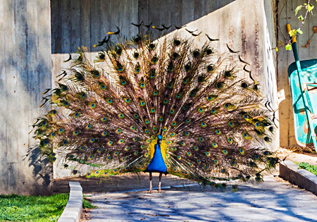 Ask the Expert — Peafowl