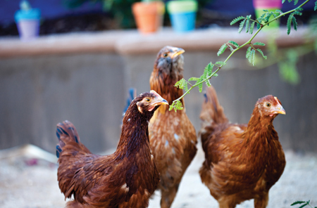 Plant a Chicken-Themed Garden