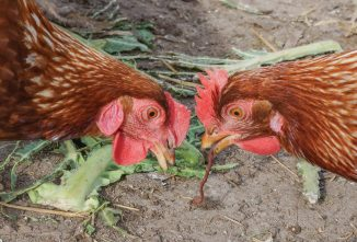 A Guide to Poultry Parasites