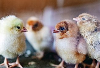 Sick Chicks