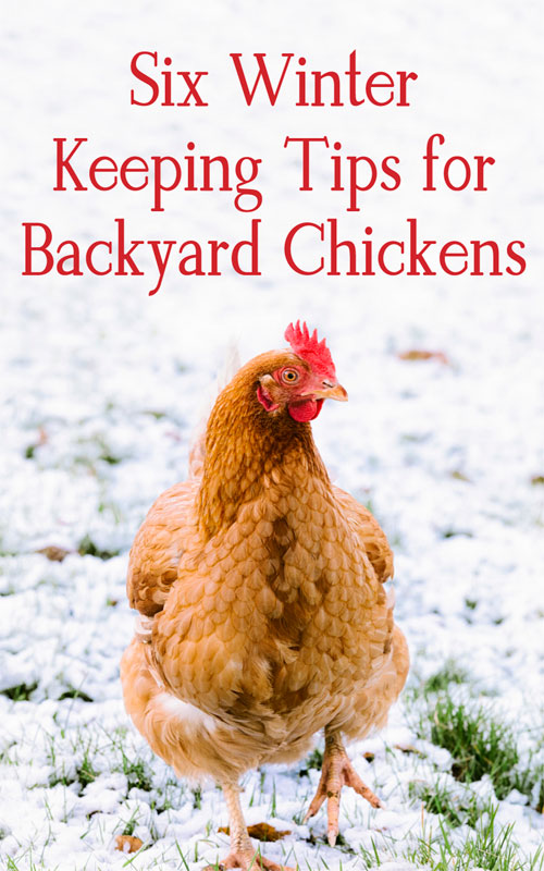 Winter Tips for Backyard Chickens