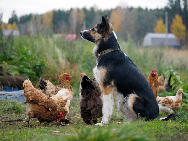 Training Dogs Around Poultry