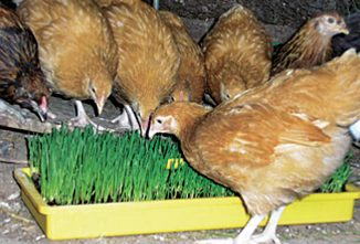 Winterizing Your Flock; A Winter Menu for Poultry