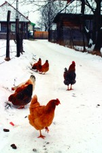 winterizing-chicken-coops