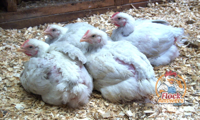 how-to-raise-broiler-chickens