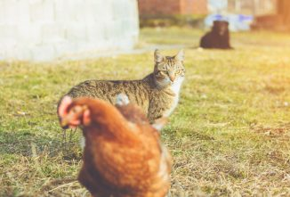 Do Dogs and Cats Kill Chickens?