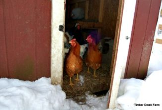 A Proper Chicken Coop Design Reduces Winter Health Issues
