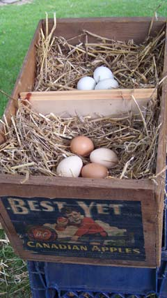 chicken-nesting-box
