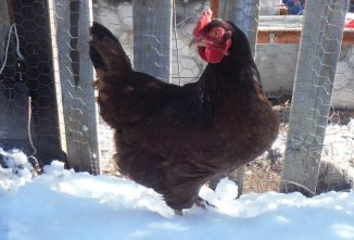 How Snow in Chicken Pens and Runs Affects Your Flock