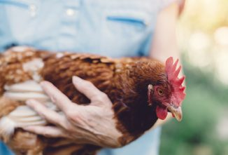 Coping with Losing a Chicken