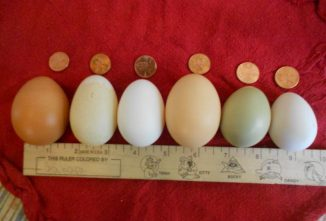 Duck Eggs Vs. Chicken Eggs