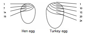 hatching-eggs