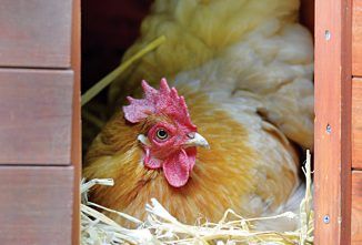 Ask the Expert: Broody Hens