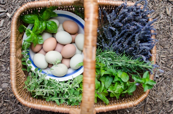 Herbs and Pasture Plants for Chickens to Eat