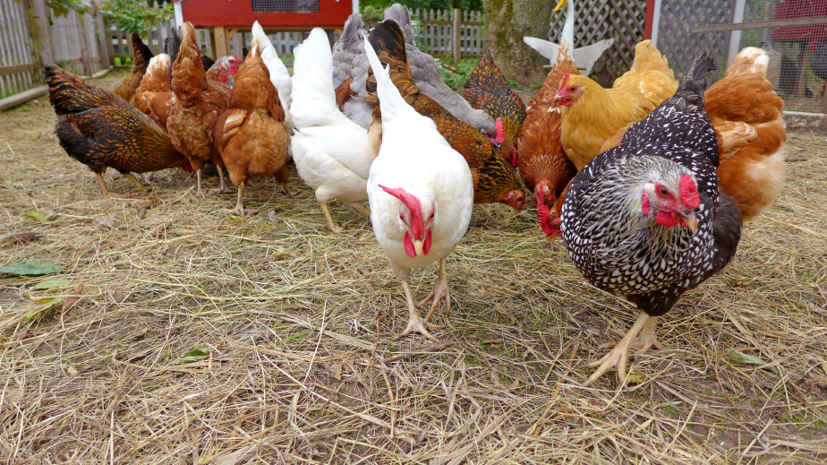 Chicken Breed Does Affect Taste and Texture
