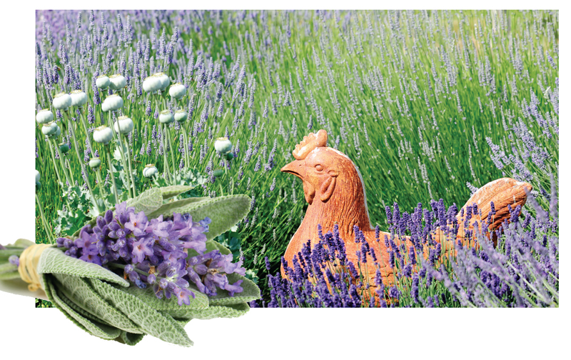 Lavender, for a Stress-Free Coop