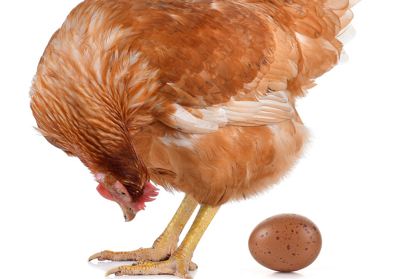 Why Hens Lay Weird Eggs