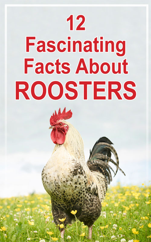 Rooster Facts