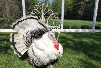 15 Tips for Adding Royal Palm Turkeys to Your Flock