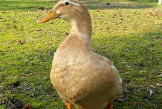 Saxony Duck Breed Profile