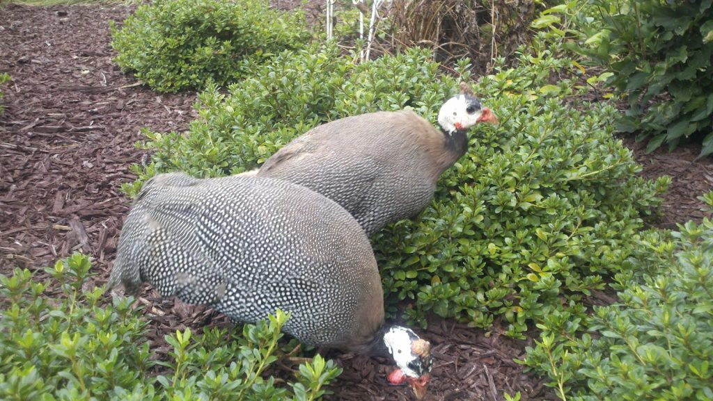 keeping-guinea-fowl-safe
