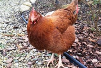 Breed Profile: New Hampshire Chicken