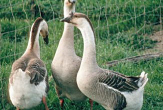 All About Heavy Goose Breeds