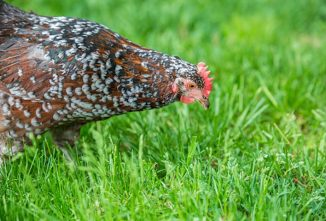 Speckled Sussex Chicken: A Favorite Backyard Breed