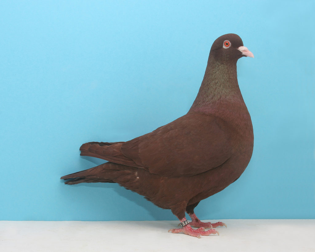 Carneau originated in northern France and southern Belgium. Their size makes them suitable for squab production. Photo Red Carneau by Layne Gardner