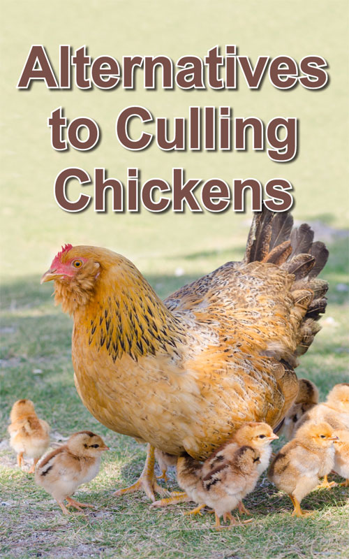 Alternatives to Culling Chickens