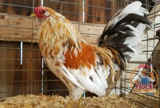 How to Breed Chickens for Show and Fun